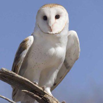 Barn_Owl_b13-39-111_l